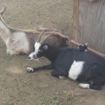 Cox-Farms-Baby-Goat
