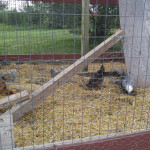 Cox-Farms-Chickens