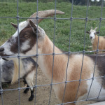 Cox-Farms-Goats